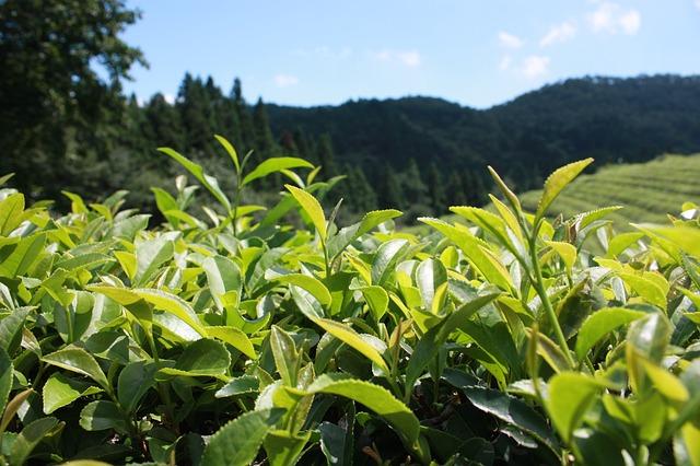 Grüner Tee als Beautywunder Foto: Pixabay